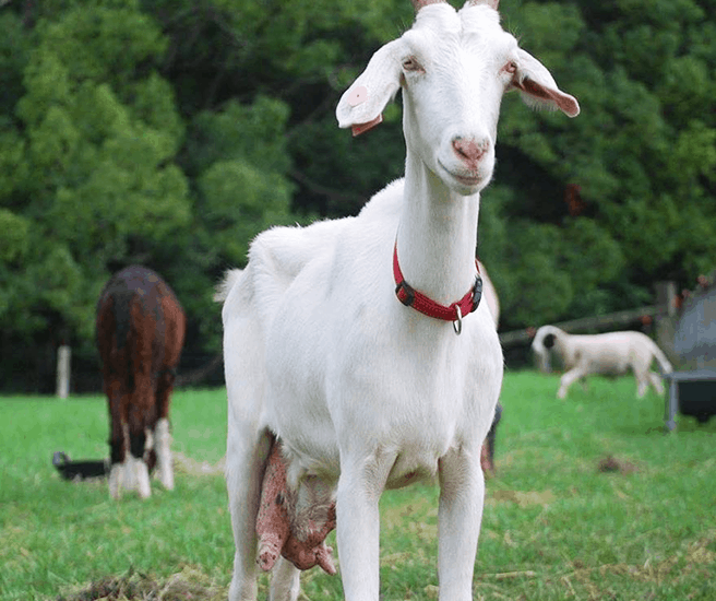 Lizzy the white goat