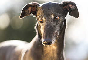 Greyhound Act Review